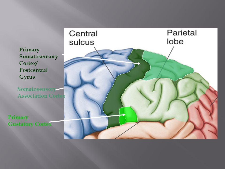 Lobes of the Brain – Occipital Lobe The Occipital Lobe of the Brain is located deep to the Occipital Bone of the Skull.