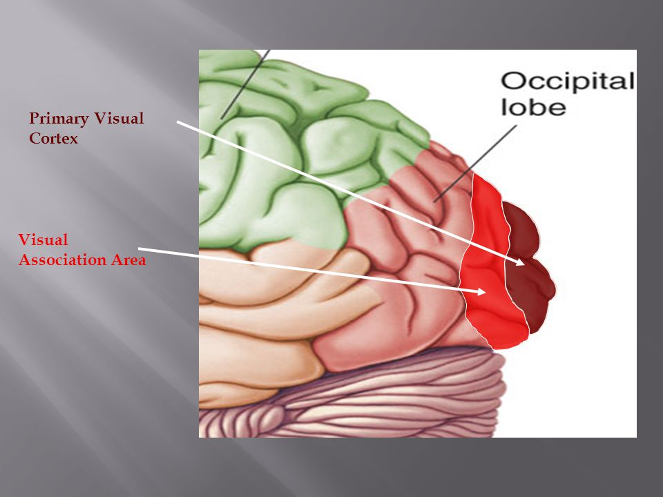Lobes of the Brain – Temporal Lobe The Temporal Lobes are located on the sides of the brain, deep to the Temporal Bones of the skull.