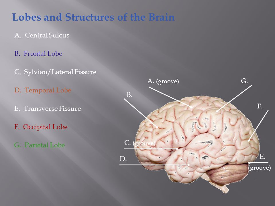 Lobes and Structures of the Brain B. A. (groove) C.