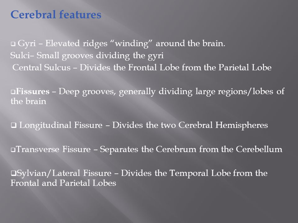 Cerebral features  Gyri – Elevated ridges winding around the brain.
