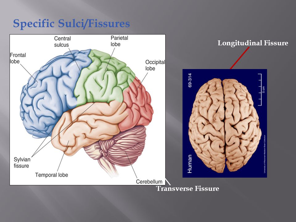 Lobes of the Brain (4) Frontal Parietal Occipital Temporal * Note: Occasionally, the Insula is considered the fifth lobe.
