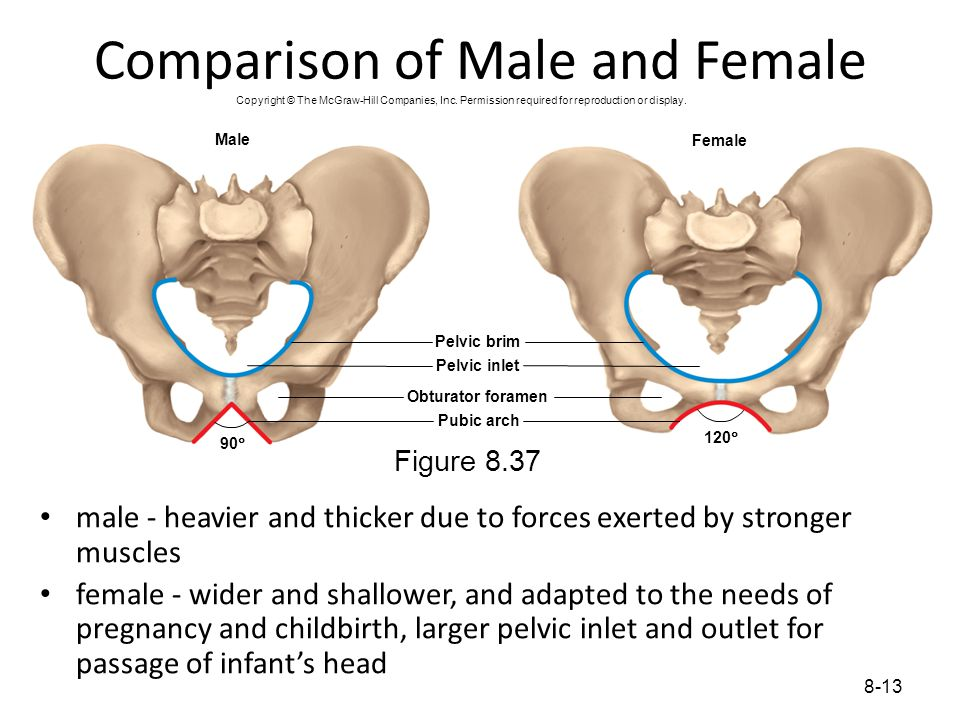 8-13 Comparison of Male and Female male - heavier and thicker due to forces exerted by stronger muscles female - wider and shallower, and adapted to t
