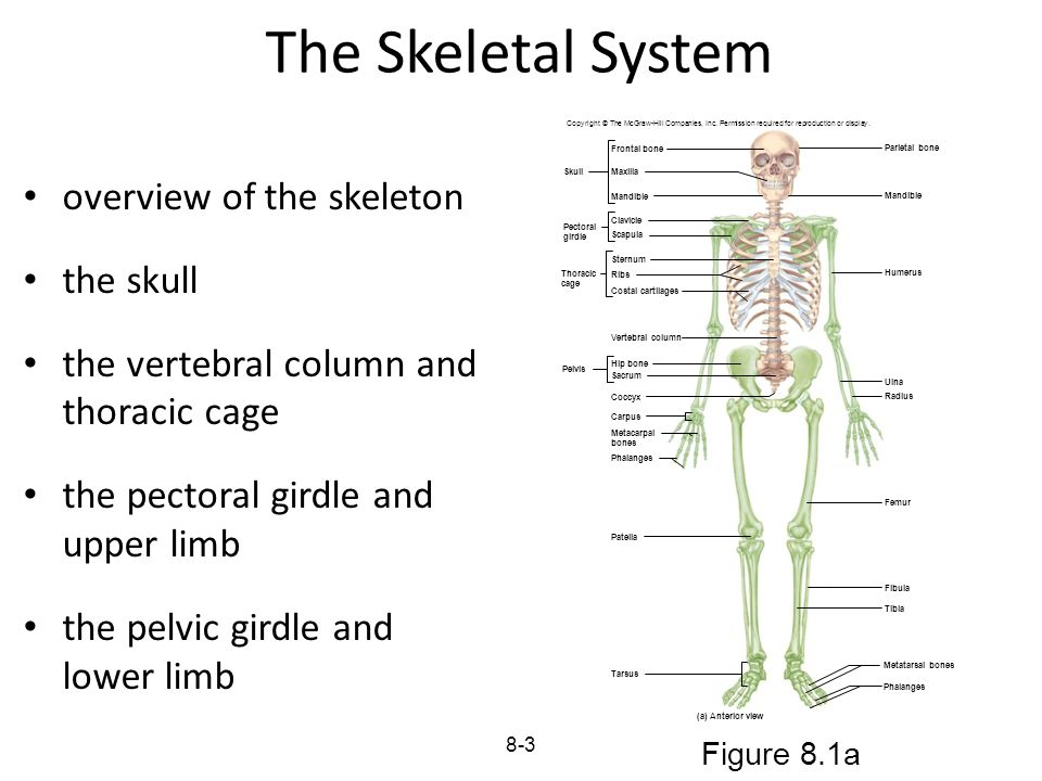 8-3 The Skeletal System overview of the skeleton the skull the vertebral column and thoracic cage the pectoral girdle and upper limb the pelvic girdle