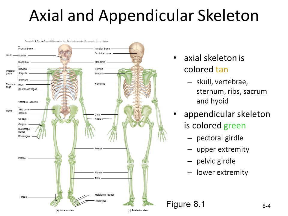 8-4 Axial and Appendicular Skeleton axial skeleton is colored tan – skull, vertebrae, sternum, ribs, sacrum and hyoid appendicular skeleton is colored
