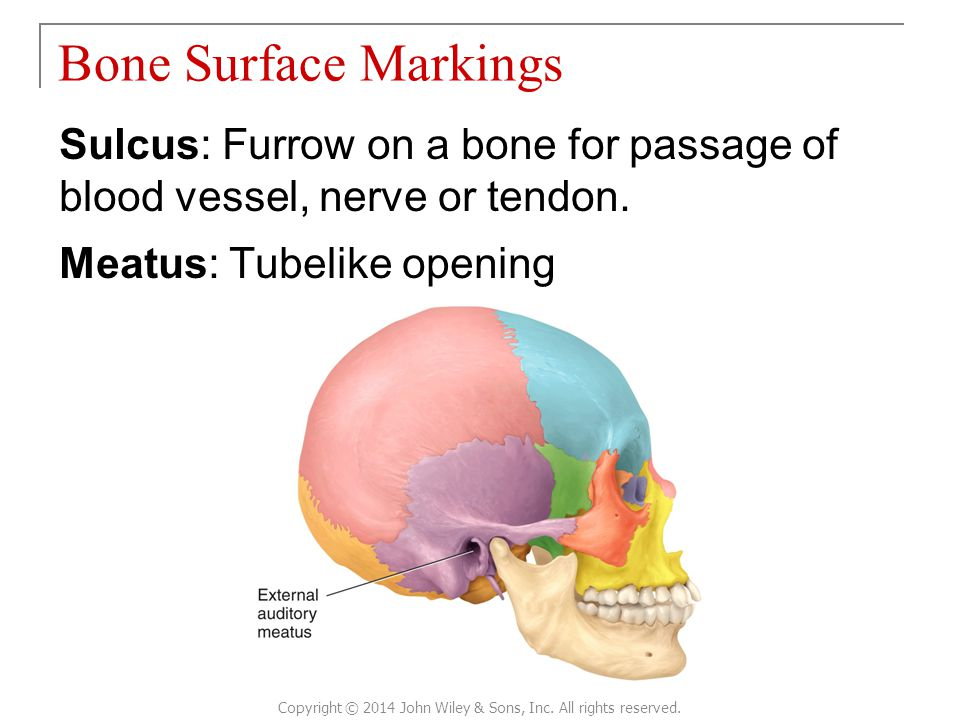 Sulcus: Furrow on a bone for passage of blood vessel, nerve or tendon. Meatus: Tubelike opening Bone Surface Markings Copyright © 2014 John Wiley & So