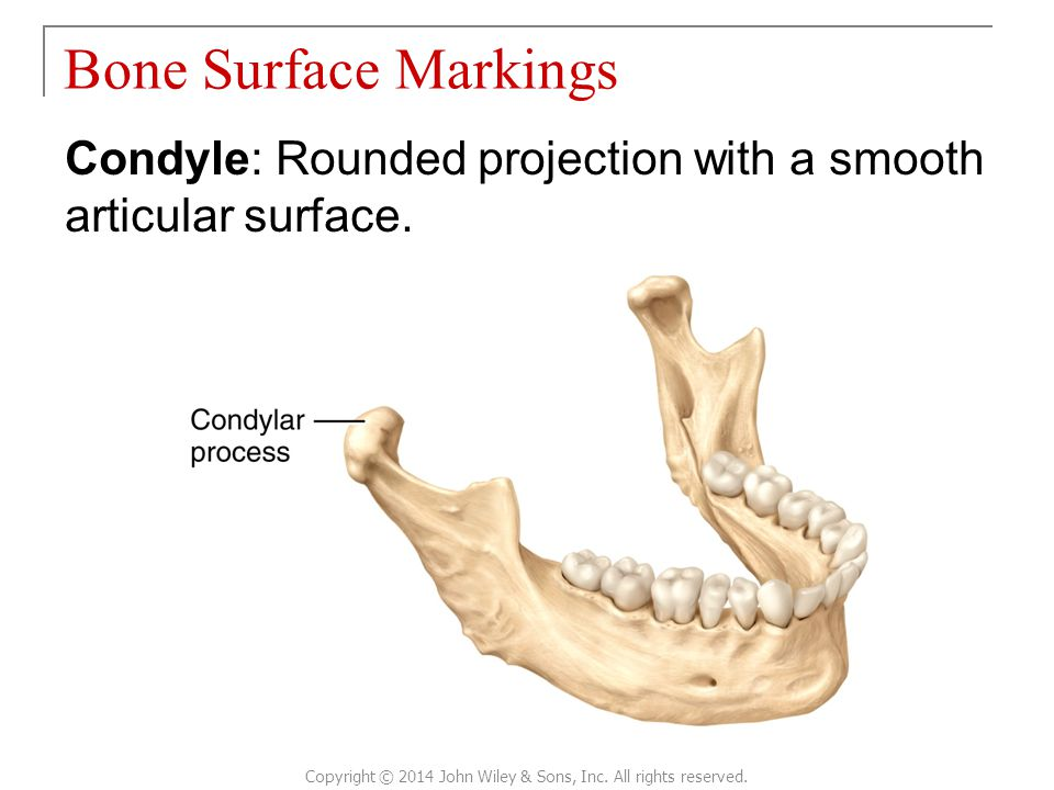 Condyle: Rounded projection with a smooth articular surface. Bone Surface Markings Copyright © 2014 John Wiley & Sons, Inc. All rights reserved.
