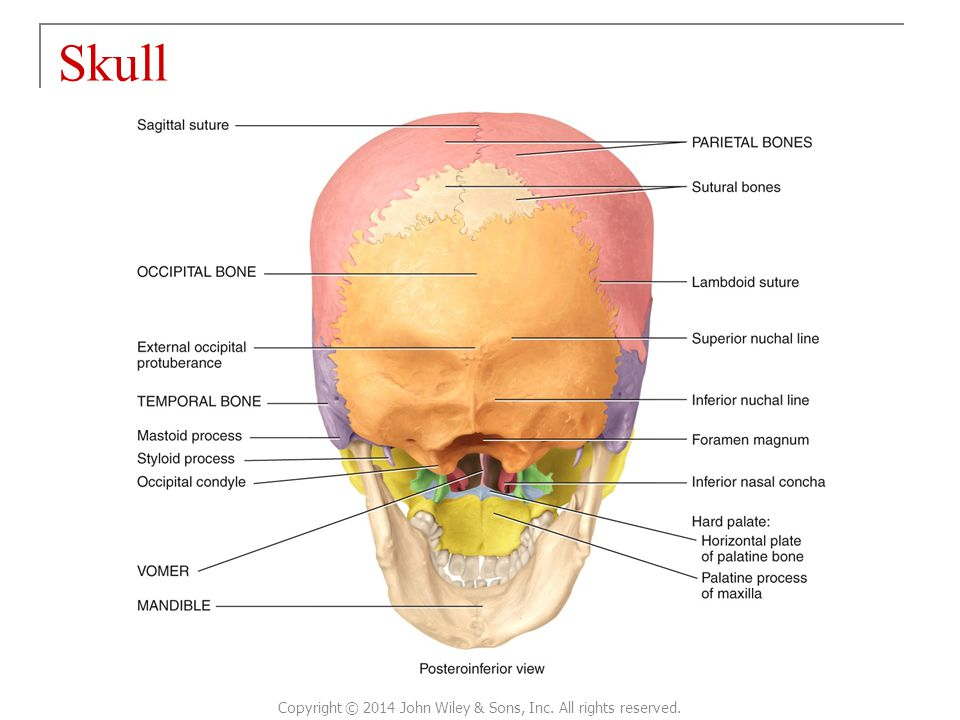 Skull Copyright © 2014 John Wiley & Sons, Inc. All rights reserved.