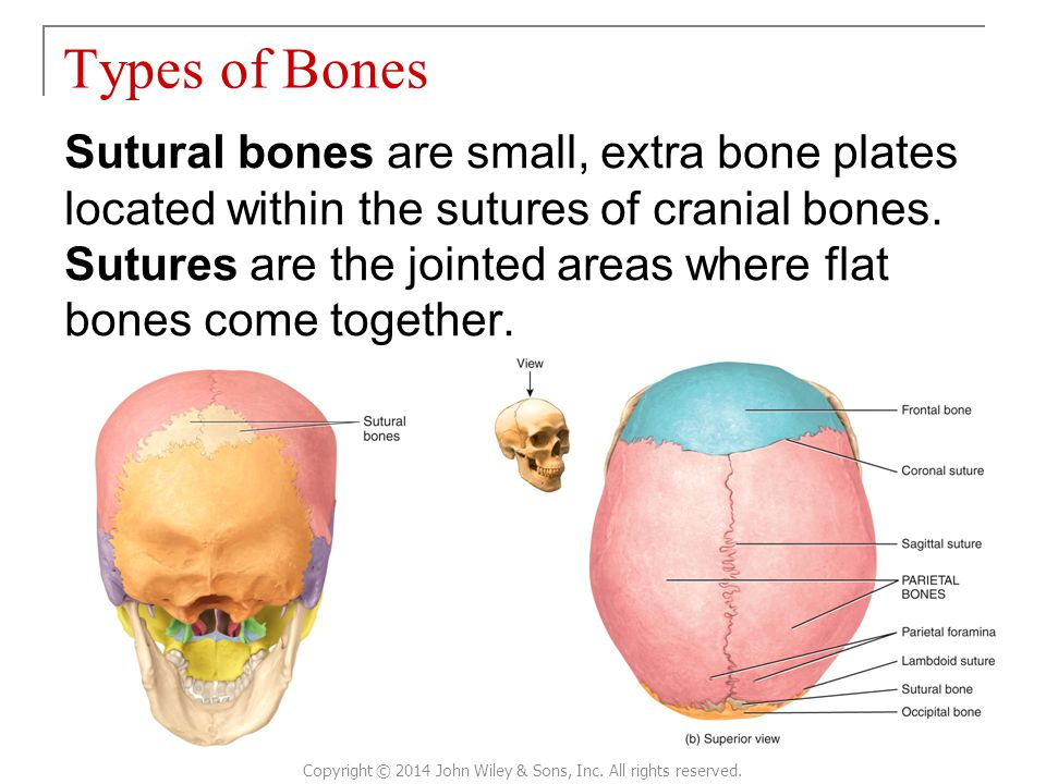 Sutural bones are small, extra bone plates located within the sutures of cranial bones. Sutures are the jointed areas where flat bones come together.