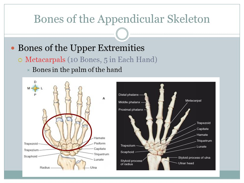 Bones of the Appendicular Skeleton Bones of the Upper Extremities  Metacarpals (10 Bones, 5 in Each Hand)  Bones in the palm of the hand