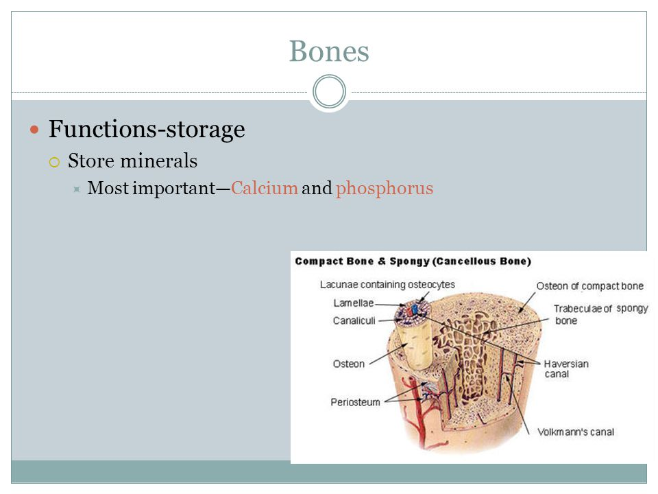 Bones Functions-storage  Store minerals  Most important—Calcium and phosphorus