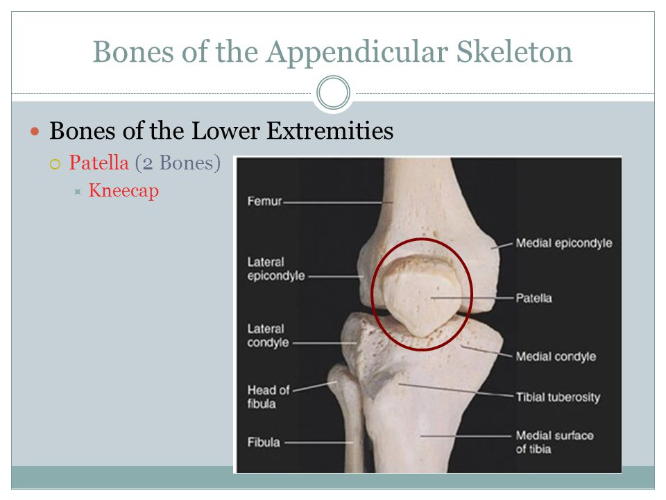 Bones of the Appendicular Skeleton Bones of the Lower Extremities  Patella (2 Bones)  Kneecap