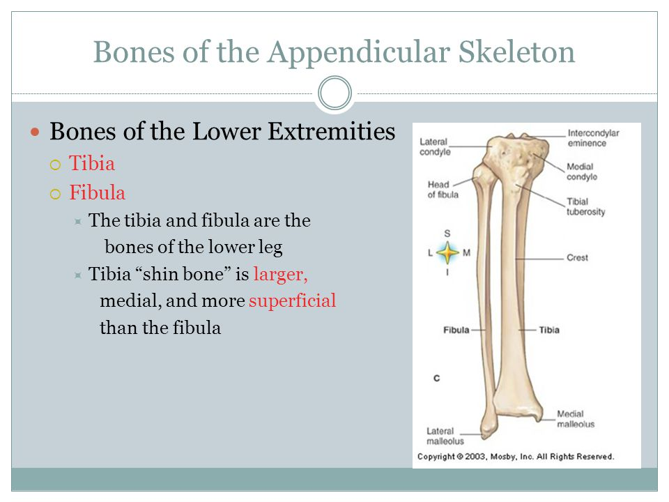 "Bones of the Appendicular Skeleton Bones of the Lower Extremities  Tibia  Fibula  The tibia and fibula are the bones of the lower leg  Tibia ""shin"