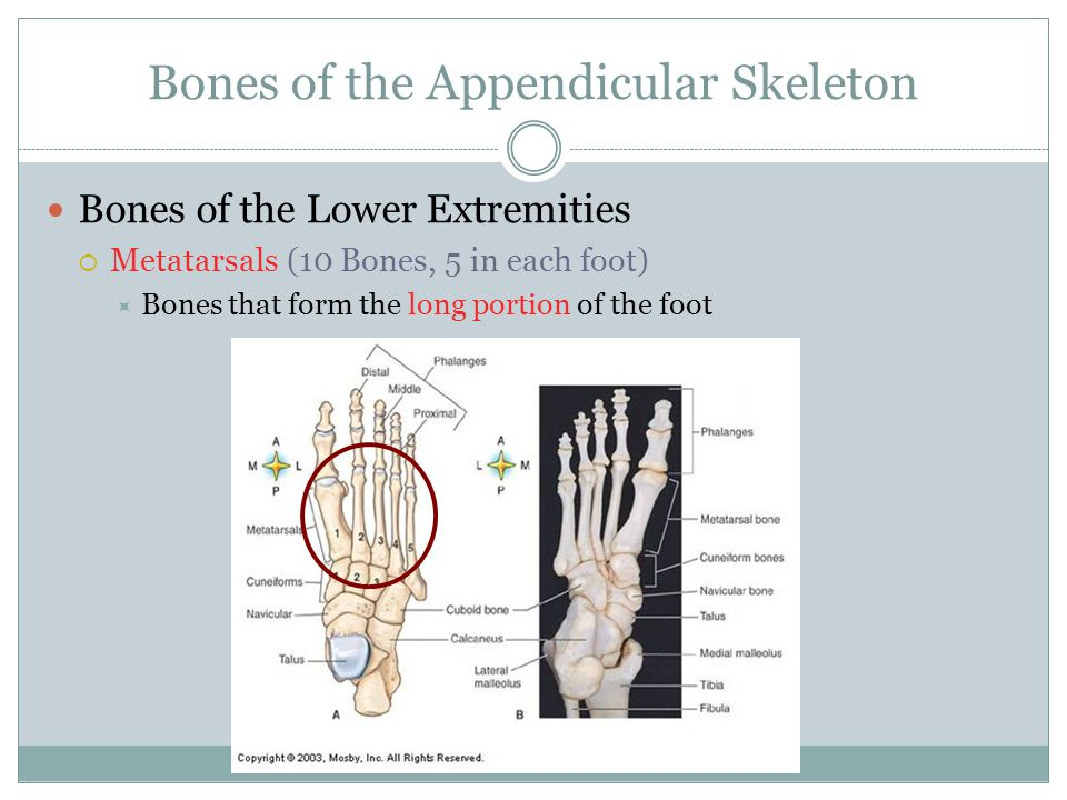 Bones of the Appendicular Skeleton Bones of the Lower Extremities  Metatarsals (10 Bones, 5 in each foot)  Bones that form the long portion of the f