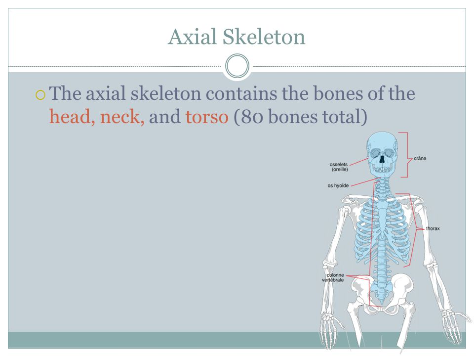 Axial Skeleton  The axial skeleton contains the bones of the head, neck, and torso (80 bones total)