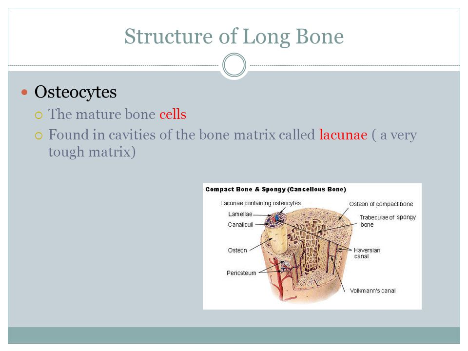 Structure of Long Bone Osteocytes  The mature bone cells  Found in cavities of the bone matrix called lacunae ( a very tough matrix)