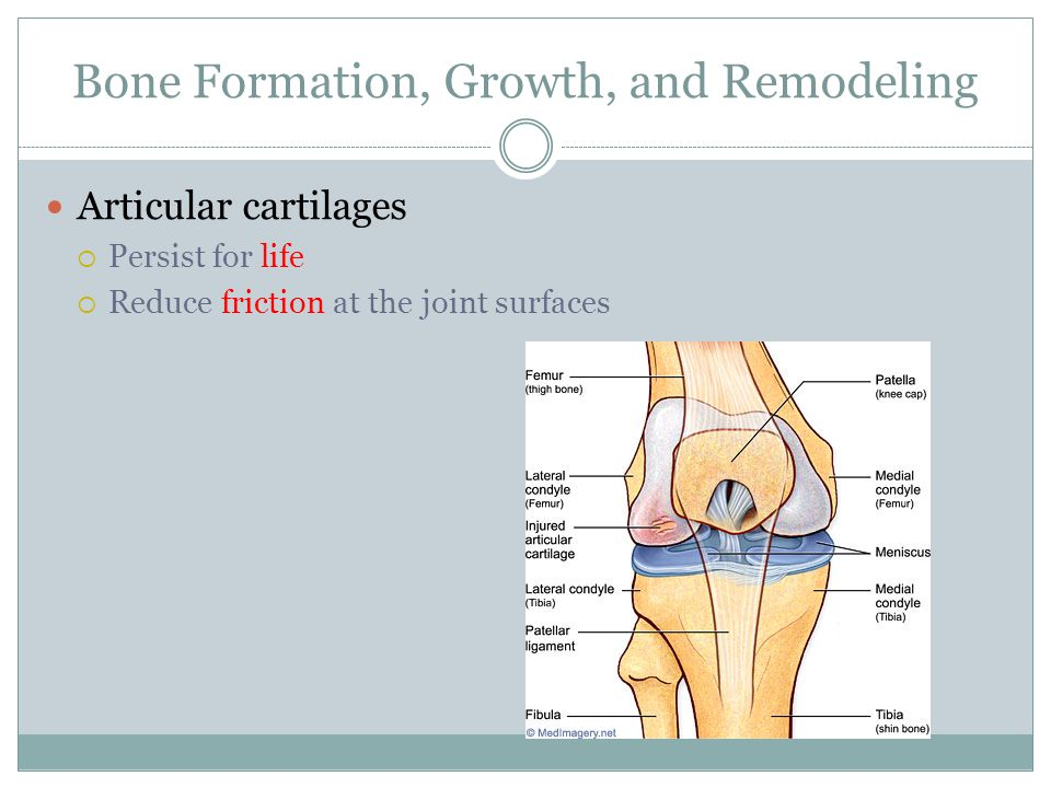 Bone Formation, Growth, and Remodeling Articular cartilages  Persist for life  Reduce friction at the joint surfaces