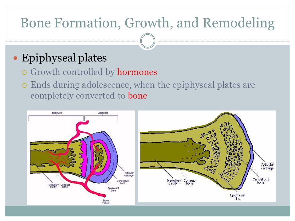 Bone Formation, Growth, and Remodeling Epiphyseal plates  Growth controlled by hormones  Ends during adolescence, when the epiphyseal plates are com