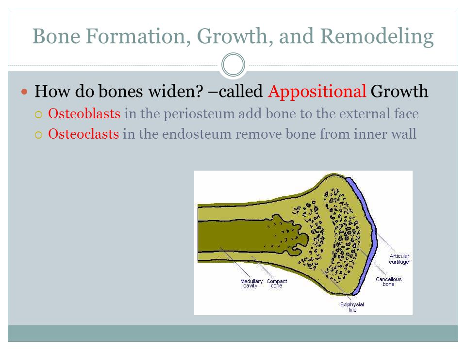 Bone Formation, Growth, and Remodeling How do bones widen? –called Appositional Growth  Osteoblasts in the periosteum add bone to the external face 