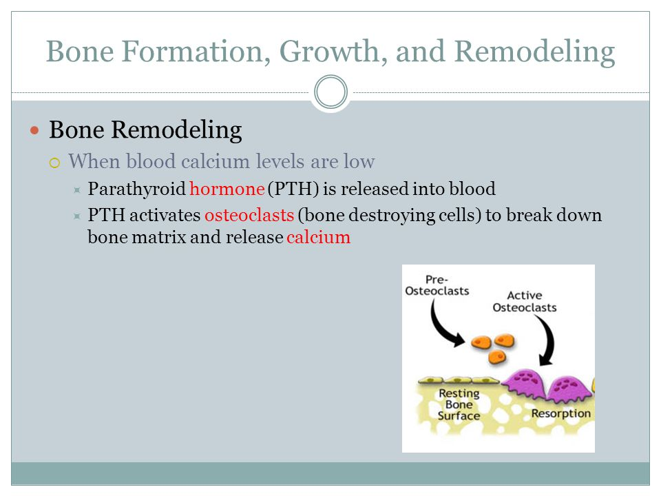 Bone Formation, Growth, and Remodeling Bone Remodeling  When blood calcium levels are low  Parathyroid hormone (PTH) is released into blood  PTH ac