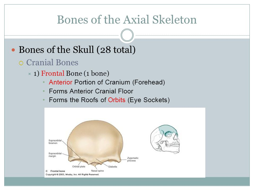Bones of the Axial Skeleton Bones of the Skull (28 total)  Cranial Bones  1) Frontal Bone (1 bone) Anterior Portion of Cranium (Forehead) Forms Ante