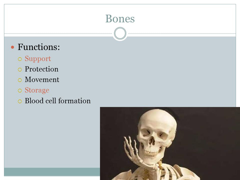 Bones Functions:  Support  Protection  Movement  Storage  Blood cell formation