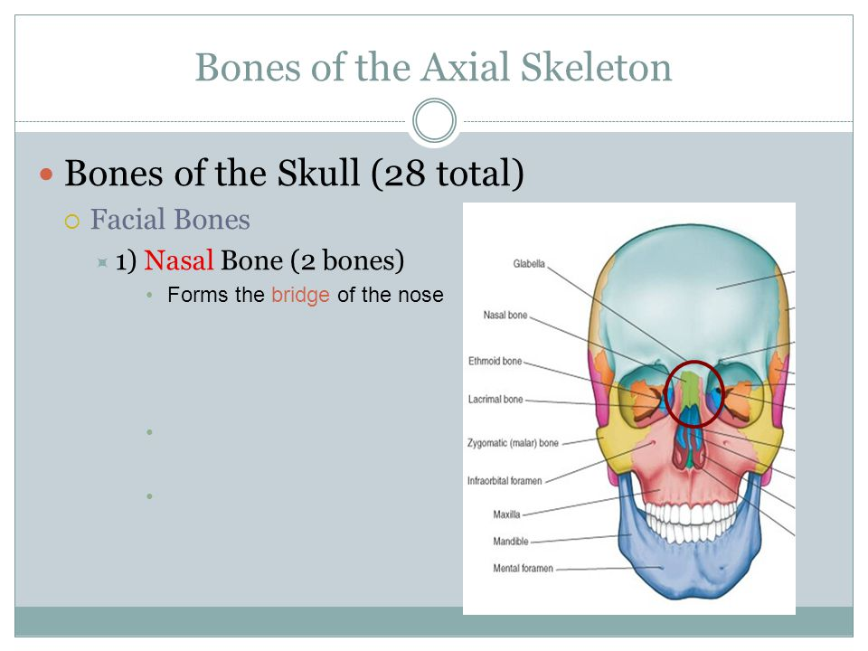Bones of the Axial Skeleton Bones of the Skull (28 total)  Facial Bones  1) Nasal Bone (2 bones) Forms the bridge of the nose