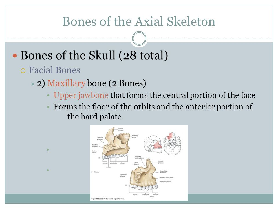 Bones of the Axial Skeleton Bones of the Skull (28 total)  Facial Bones  2) Maxillary bone (2 Bones) Upper jawbone that forms the central portion of