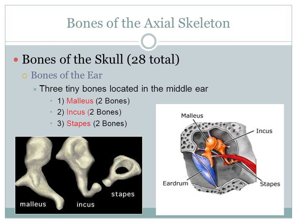 Bones of the Axial Skeleton Bones of the Skull (28 total)  Bones of the Ear  Three tiny bones located in the middle ear 1) Malleus (2 Bones) 2) Incu