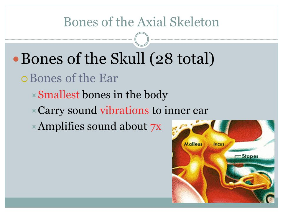 Bones of the Axial Skeleton Bones of the Skull (28 total)  Bones of the Ear  Smallest bones in the body  Carry sound vibrations to inner ear  Ampl