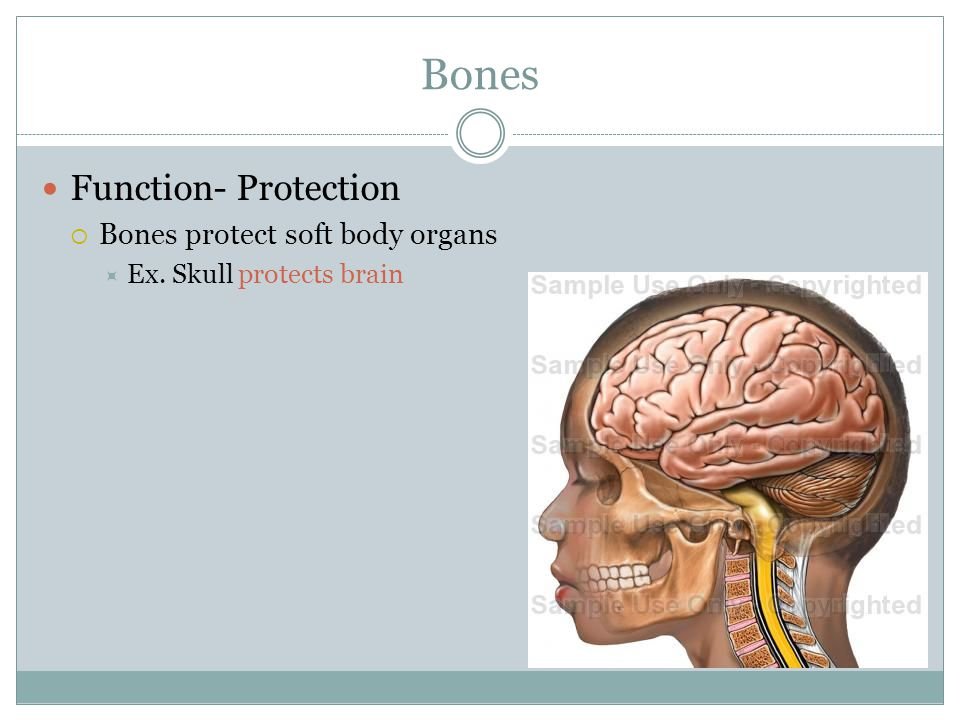Bones Function- Protection  Bones protect soft body organs  Ex. Skull protects brain