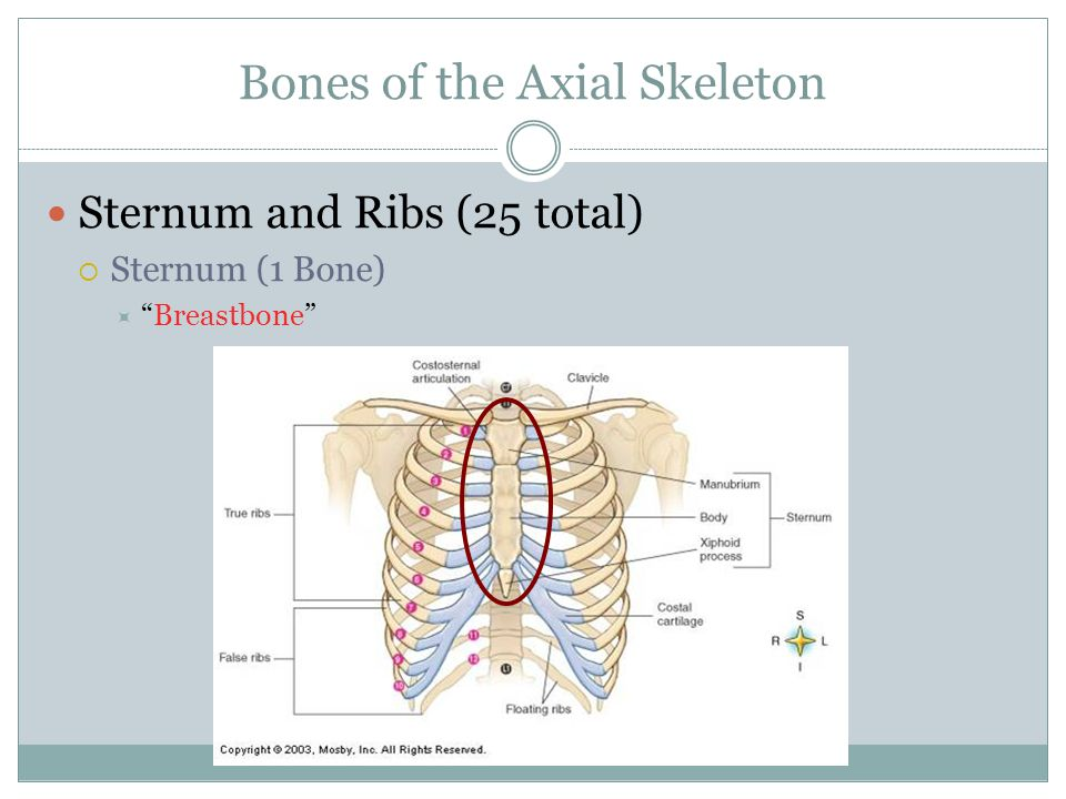 "Bones of the Axial Skeleton Sternum and Ribs (25 total)  Sternum (1 Bone)  ""Breastbone"""