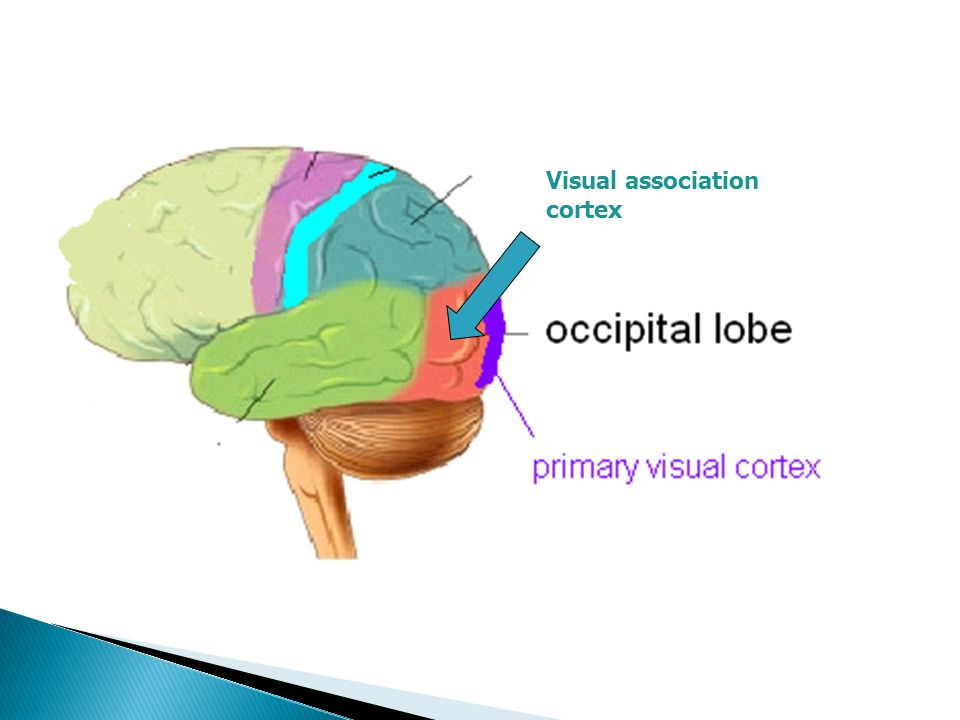 Visual association cortex