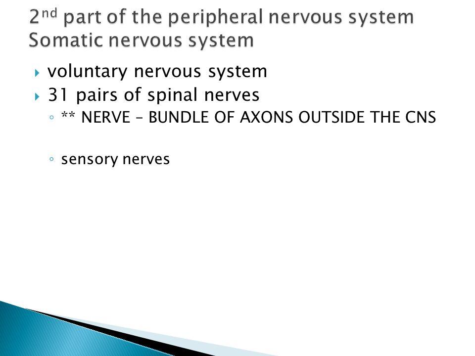  voluntary nervous system  31 pairs of spinal nerves ◦ ** NERVE – BUNDLE OF AXONS OUTSIDE THE CNS ◦ sensory nerves