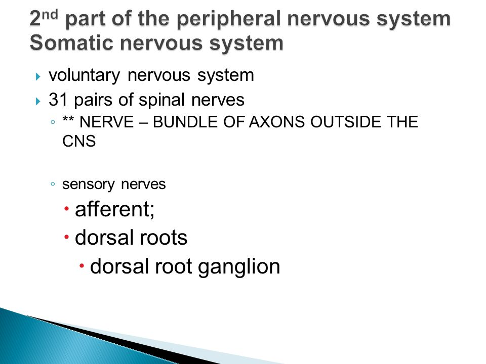  voluntary nervous system  31 pairs of spinal nerves ◦ ** NERVE – BUNDLE OF AXONS OUTSIDE THE CNS ◦ sensory nerves  afferent;  dorsal roots  dorsal root ganglion