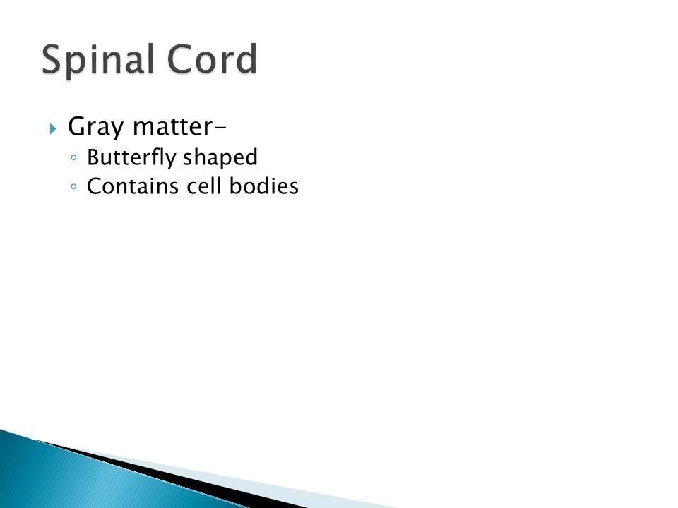  Gray matter- ◦ Butterfly shaped ◦ Contains cell bodies