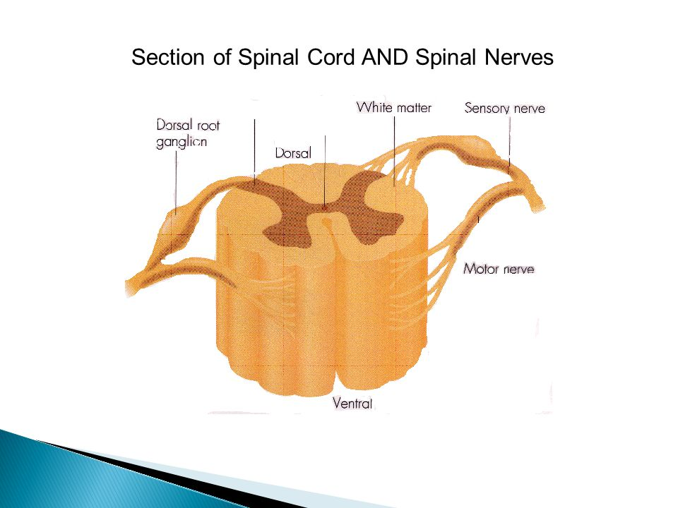 Section of Spinal Cord AND Spinal Nerves