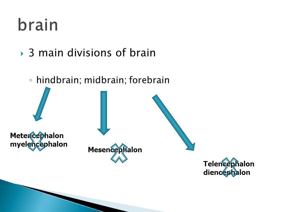  3 main divisions of brain ◦ hindbrain; midbrain; forebrain Metencephalon myelencephalon Mesencephalon Telencephalon diencephalon