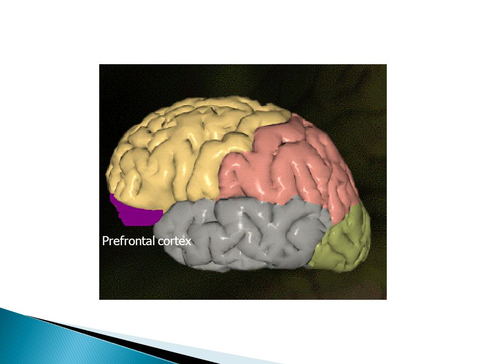  Frontal ◦ Motor function  Prefrontal – higher executive function  Parietal ◦ Somatosensory function