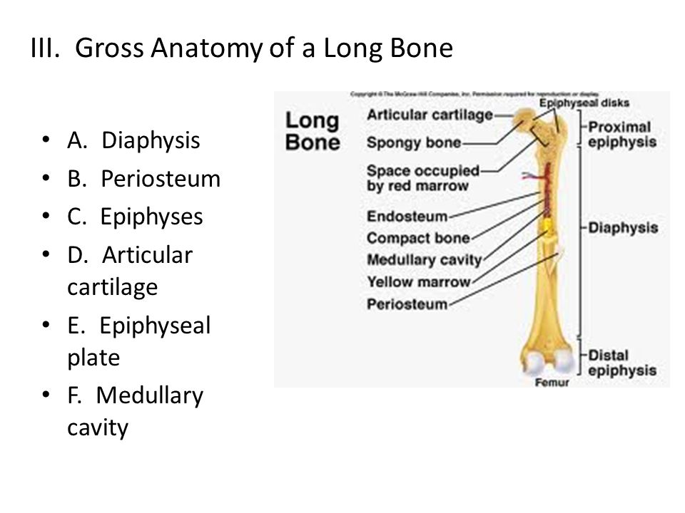 III. Gross Anatomy of a Long Bone A. Diaphysis B. Periosteum C. Epiphyses D. Articular cartilage E. Epiphyseal plate F. Medullary cavity