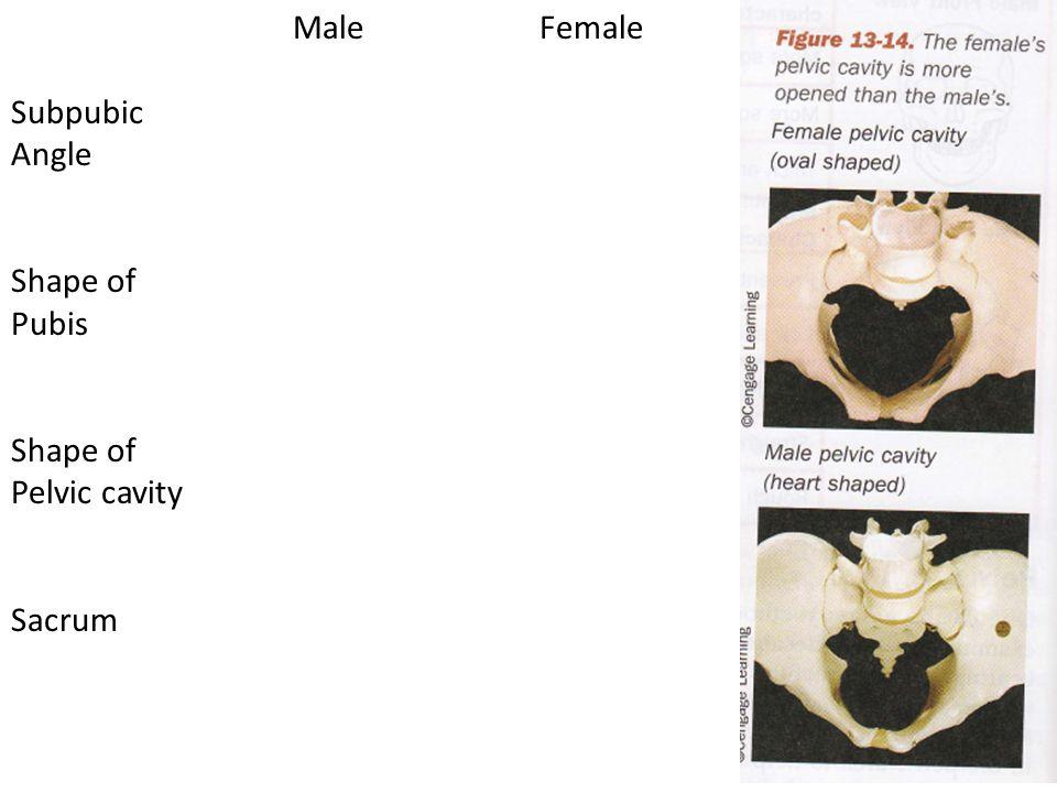 MaleFemale Subpubic Angle Shape of Pubis Shape of Pelvic cavity Sacrum