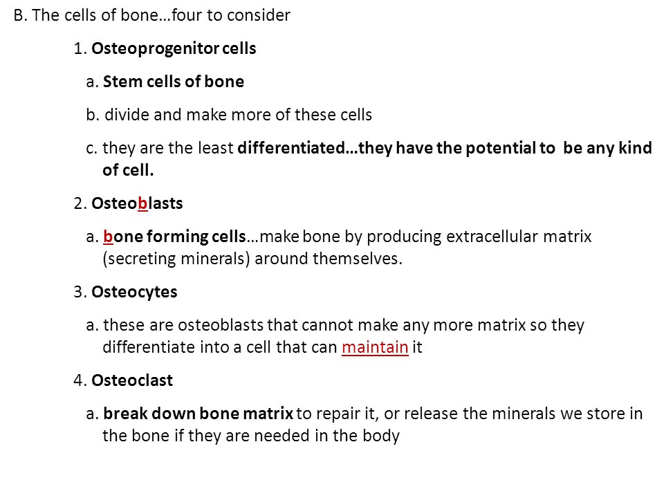 B. The cells of bone…four to consider 1. Osteoprogenitor cells a.
