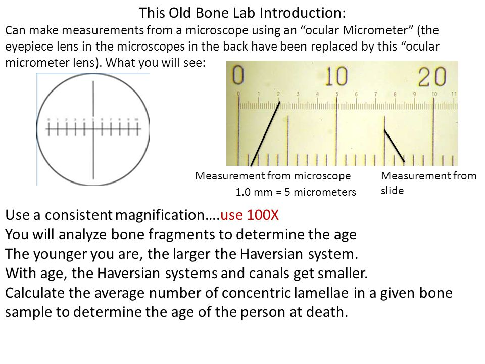"This Old Bone Lab Introduction: Can make measurements from a microscope using an ""ocular Micrometer"" (the eyepiece lens in the microscopes in the back"