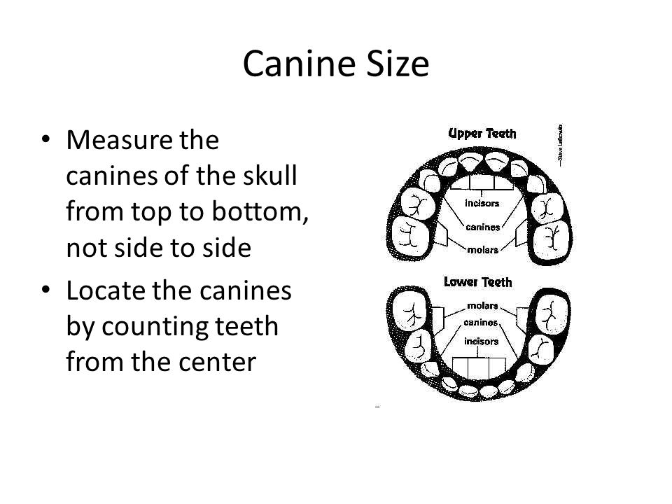 Canine Size Measure the canines of the skull from top to bottom, not side to side Locate the canines by counting teeth from the center
