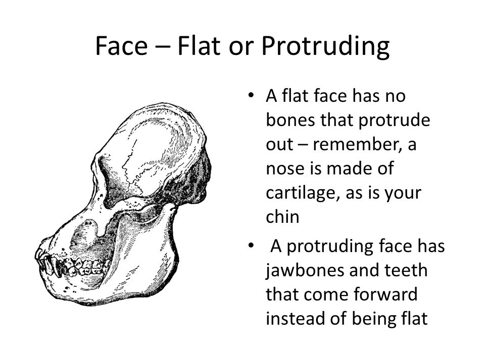 Face – Flat or Protruding A flat face has no bones that protrude out – remember, a nose is made of cartilage, as is your chin A protruding face has jawbones and teeth that come forward instead of being flat