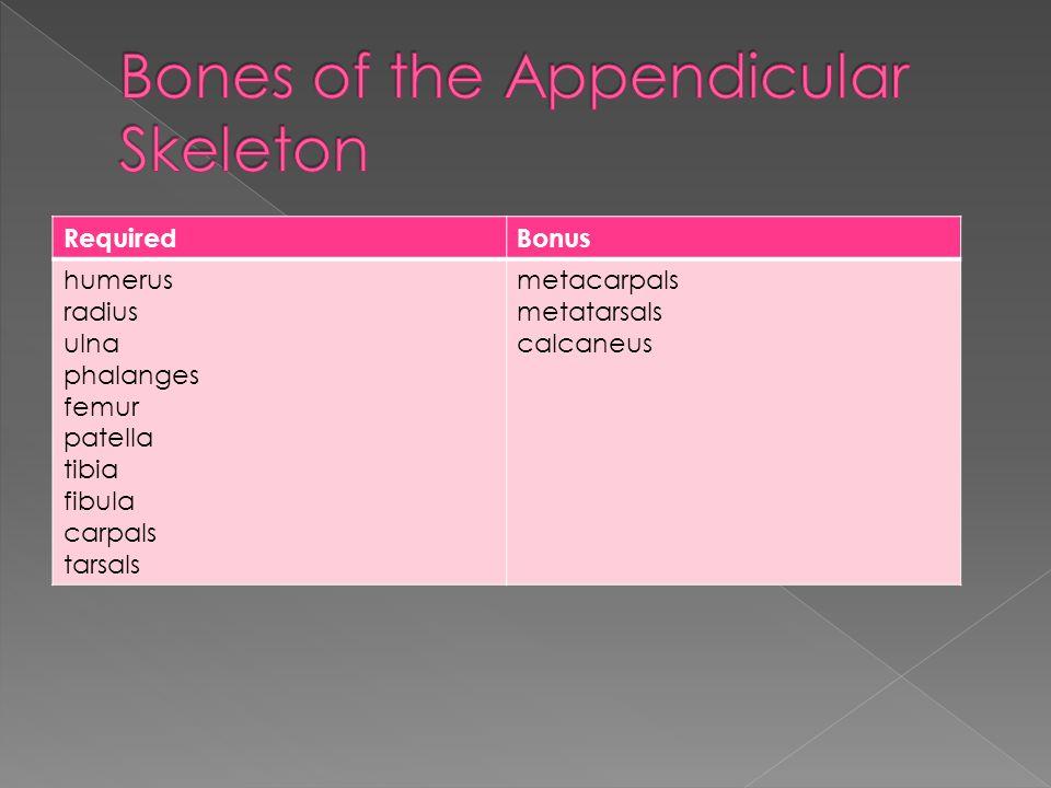 RequiredBonus humerus radius ulna phalanges femur patella tibia fibula carpals tarsals metacarpals metatarsals calcaneus