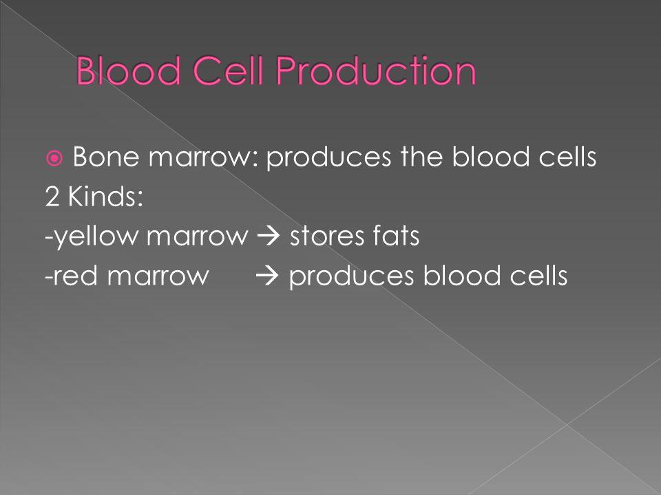  Bone marrow: produces the blood cells 2 Kinds: -yellow marrow  stores fats -red marrow  produces blood cells
