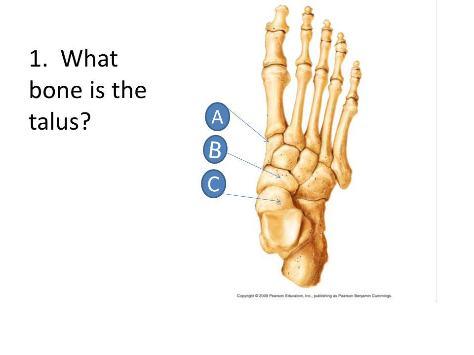 A, both are leg bones, so are in appendicular sub-division