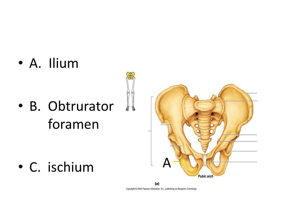 A. Ilium B. Obtrurator foramen C. ischium A