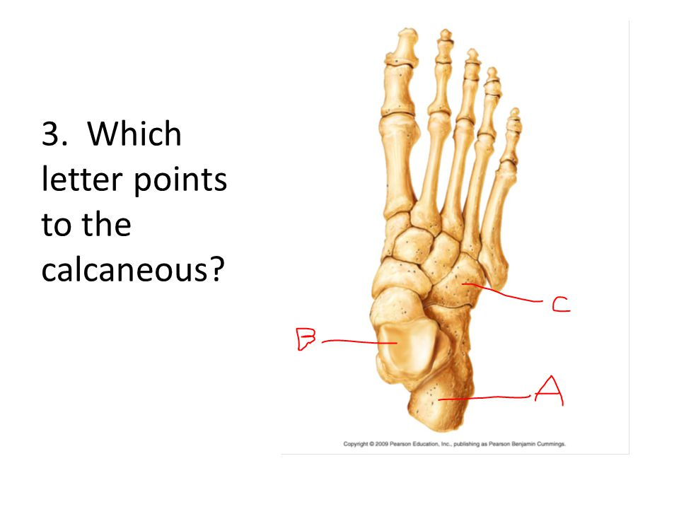 3. Which letter points to the calcaneous