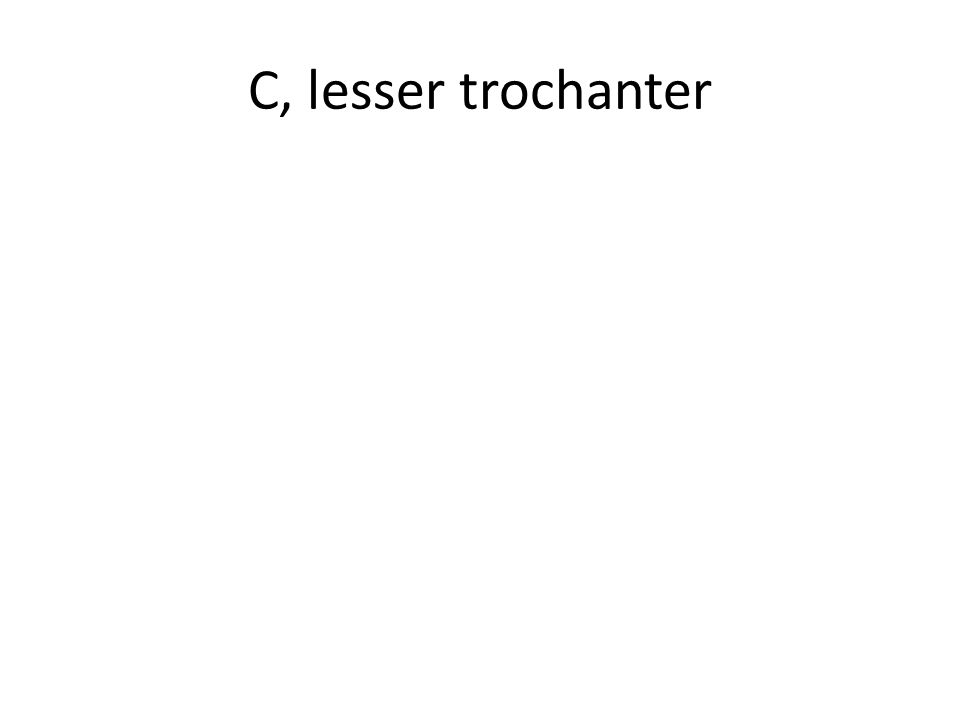 C, lesser trochanter